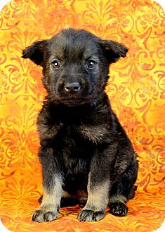 Shepherd (Unknown Type)/Husky Mix Puppy for adoption in Westminster, Colorado - Jarrah