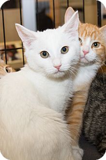 Domestic Shorthair Kitten for adoption in Irvine, California - Deryn