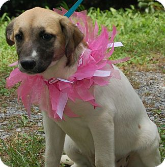 Great Pyrenees/Labrador Retriever Mix Dog for adoption in Portland, Maine - Lucy (Reduced $100)