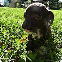 Adopt A Pet :: Zazu - Burr Ridge, IL