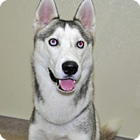 Adopt A Pet :: Cody - Port Washington, NY