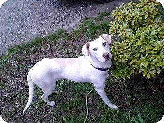 Labrador Retriever/Shepherd (Unknown Type) Mix Puppy for adoption in Shelter Island, New York - Yoda