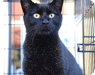 Domestic Shorthair Cat for adoption in Brooklyn, New York - Persia