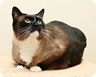 Snowshoe Cat for adoption in Bellingham, Washington - Bartholomew