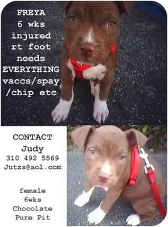 Pit Bull Terrier/American Staffordshire Terrier Mix Puppy for adoption in Harbor City, California - FREYA