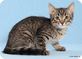 Domestic Shorthair Kitten for adoption in Las Vegas, Nevada - Mischief
