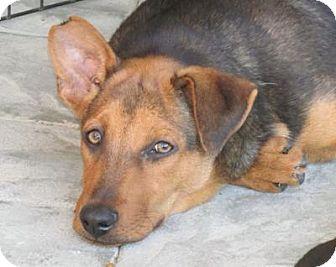 Shepherd (Unknown Type) Mix Puppy for adoption in Dublin, California - Flint