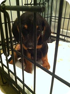 Dachshund Puppy for adoption in west hollywood, California - Melvin