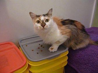 Calico Cat for adoption in St. Cloud, Florida - Precious
