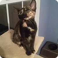 Adopt A Pet :: Gypsy bobtail dilute tortie - McDonough, GA