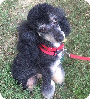 Miniature Poodle Dog for adoption in Allentown, Pennsylvania - Samuel Jackson