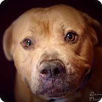 Adopt A Pet :: Handsome Hoss - Issaquah, WA