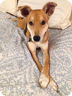 Collie/Feist Mix Dog for adoption in Harrisonburg, Virginia - Kenia(JD)