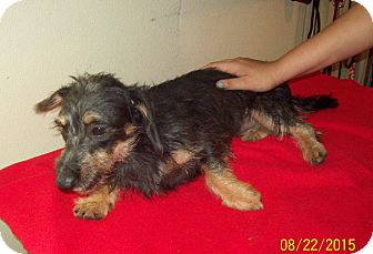 Dachshund/Havanese Mix Puppy for adoption in Anthony, Florida - Baby 1
