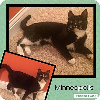 Domestic Shorthair Kitten for adoption in Cincinnati, Ohio - Minneapolis