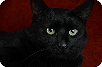 Domestic Shorthair Cat for adoption in Woodinville, Washington - Panther