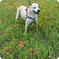 Adopt A Pet :: Dee Dee - Austin, TX
