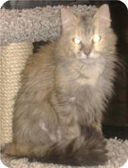 Domestic Mediumhair Cat for adoption in Phoenix, Arizona - Serena