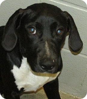 Retriever (Unknown Type) Mix Dog for adoption in Aiken, South Carolina - ASTRO