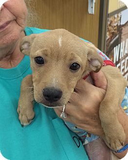 Terrier (Unknown Type, Small) Mix Puppy for adoption in Schertz, Texas - Lucky