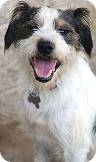 Schnauzer (Miniature)/Terrier (Unknown Type, Small) Mix Dog for adoption in Norwalk, Connecticut - Wilkins - MEET ME