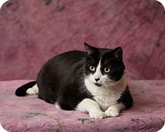 Domestic Shorthair Cat for adoption in Harrisonburg, Virginia - Shadow