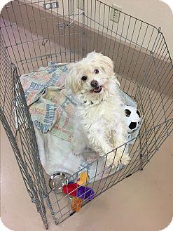 Maltese/Poodle (Miniature) Mix Dog for adoption in Auburn, California - Donald Duck