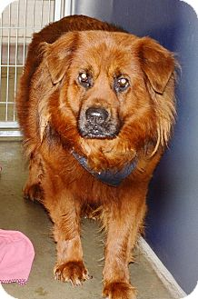 Chow Chow Dog for adoption in Los Angeles, California - Leo