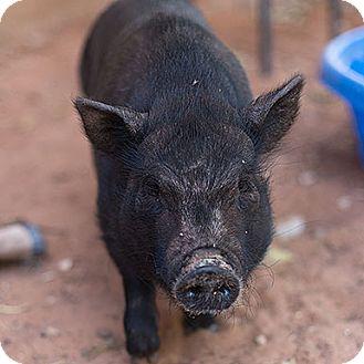 Pig (Potbellied) for adoption in Kanab, Utah - Pickles