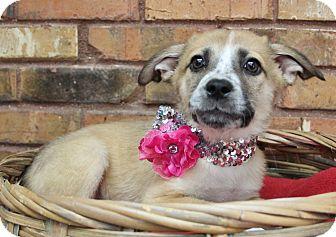 Shepherd (Unknown Type) Mix Puppy for adoption in Benbrook, Texas - Kaylee