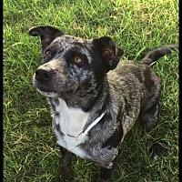 Adopt A Pet :: Trixie - Comanche, TX