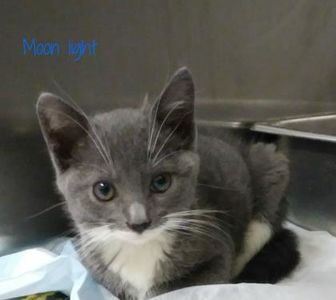 Domestic Shorthair/Domestic Shorthair Mix Kitten for adoption in Bensalem, Pennsylvania - Moon Light