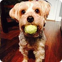 Yorkie, Yorkshire Terrier/Poodle (Miniature) Mix Dog for adoption in Marietta, Georgia - IZZIE -  ADOPTION PENDING - CONGRATS LINDA!