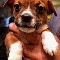 Adopt A Pet :: JACK - ST LOUIS, MO