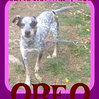 Adopt A Pet :: OREO - Sebec, ME