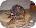 Bullmastiff Dog for adoption in Phoenix, Arizona - Otis