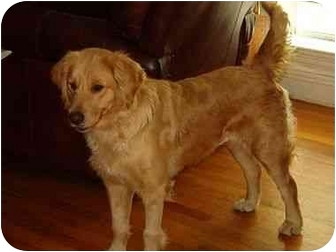 Golden Retriever Dog for adoption in Bourg, Louisiana - Montana