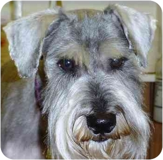 Schnauzer (Miniature) Puppy for adoption in St Louis, Missouri - Cameron (PENDING)