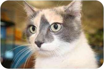 Domestic Mediumhair Cat for adoption in tucson, Arizona - Sadie