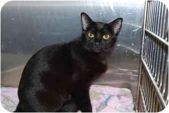 Domestic Shorthair Cat for adoption in Modesto, California - Tori