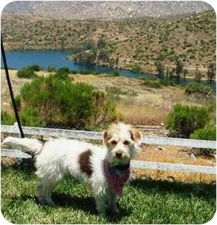 Terrier (Unknown Type, Small) Mix Dog for adoption in El Cajon, California - scruffy