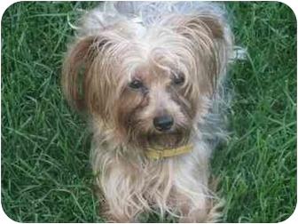 Yorkie, Yorkshire Terrier Dog for adoption in Beavercreek, Ohio - RUSTY