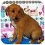 Photo 4 - Shepherd (Unknown Type)/Australian Cattle Dog Mix Puppy for adoption in Broomfield, Colorado - Winnie Mae