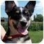 Photo 1 - Blue Heeler/Shepherd (Unknown Type) Mix Puppy for adoption in Shenandoah, Iowa - Mia