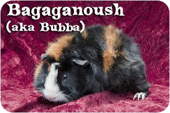 Guinea Pig for adoption in Fullerton, California - Bagaganoush.(aka Baba)""