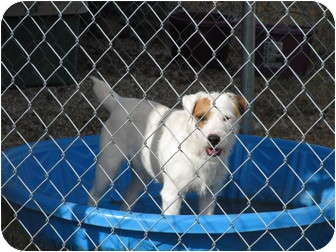 Jack Russell Terrier Dog for adoption in San Antonio, Texas - Tuffy in Kerrville