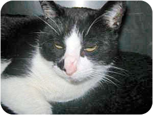 Domestic Shorthair Cat for adoption in Howell, Michigan - Trina