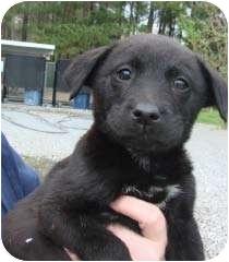 Labrador Retriever/Golden Retriever Mix Puppy for adoption in Baltimore, Maryland - Apollo