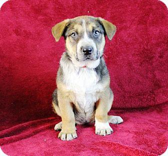 Shepherd (Unknown Type)/Retriever (Unknown Type) Mix Puppy for adoption in Broomfield, Colorado - Sinai