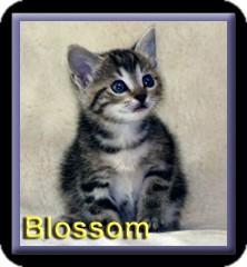 Domestic Shorthair Kitten for adoption in Aldie, Virginia - Blossom